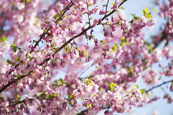 Sakura. Tree cherry on the garden.