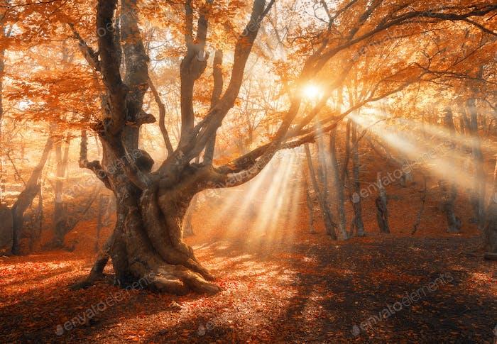 Волшебное старое дерево с солнечными лучами утром