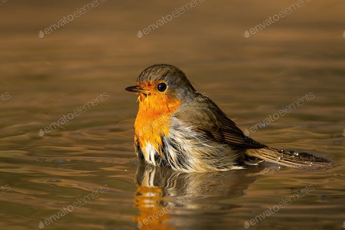 Lovely european robin bathing in water in sunny spring evening