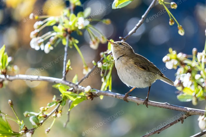Little curious bird Booted warbler on branch on background of cherry flowers on sunny spring day