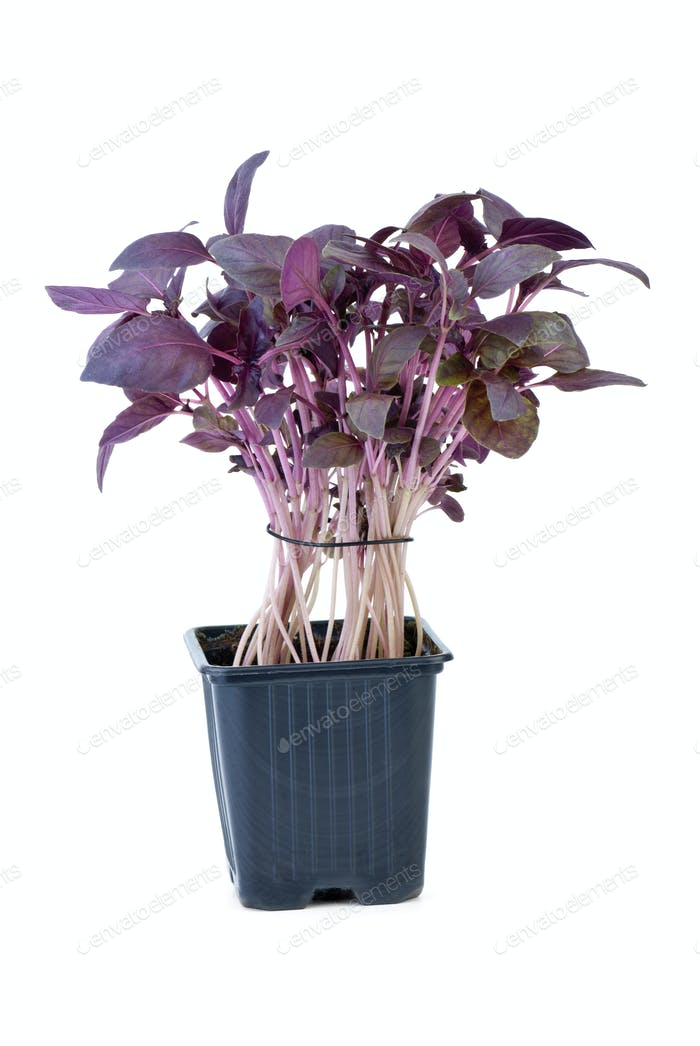 Purple basil growing in the flowerpot
