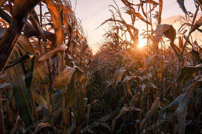 Ripe corn on a rural field