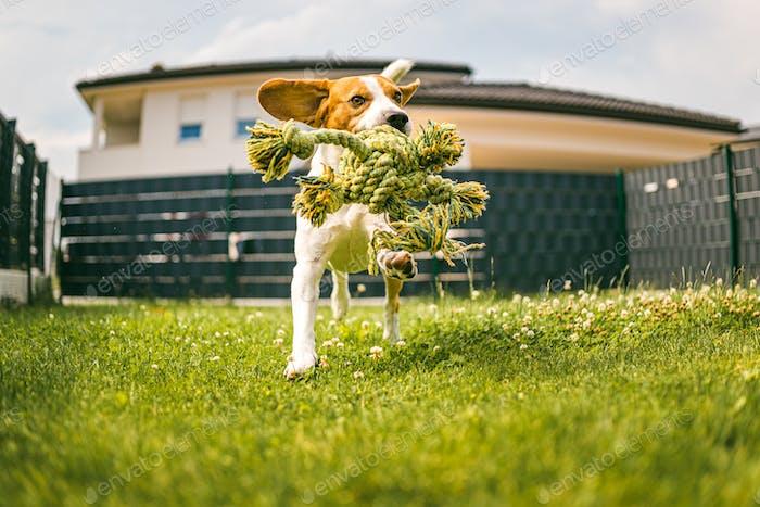 Hund Beagle reinrassig läuft mit einem Seilspielzeug auf Gras im Freien in Richtung Kamera