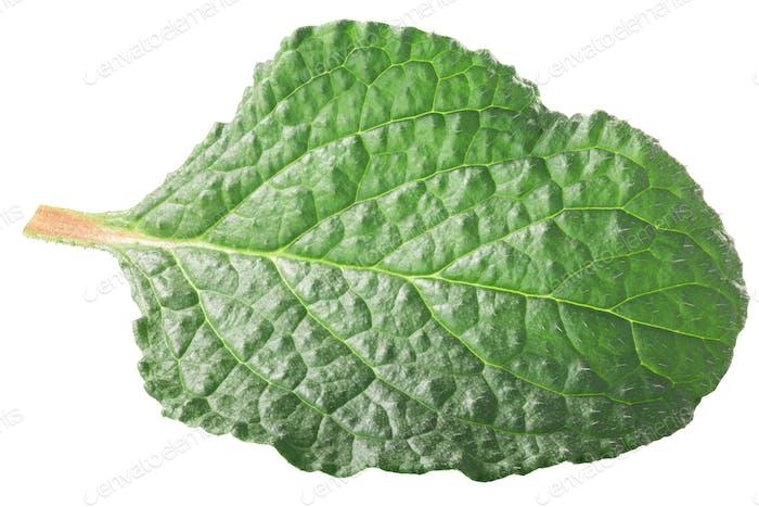 Borage young leaf, paths