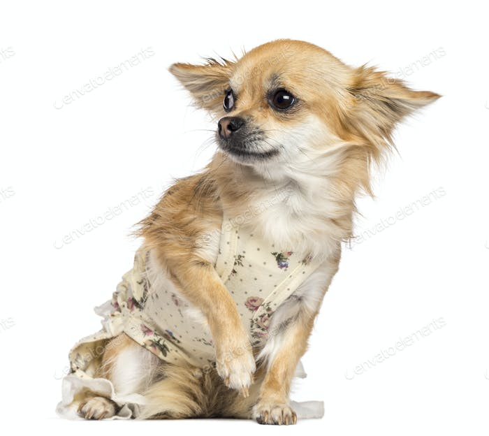 Fearful Chihuahua, 1 year old, dressed, sitting and looking away against white background