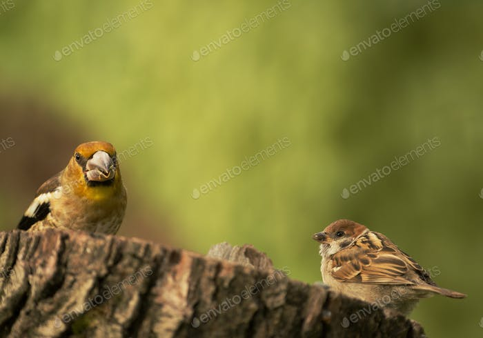 Young Hawfinch and young Tree sparrow on the tree trunk