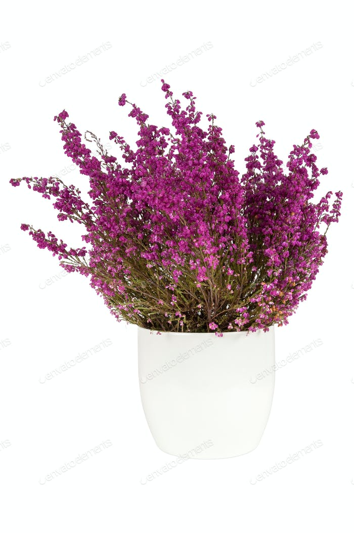 Purple heather in the white pot
