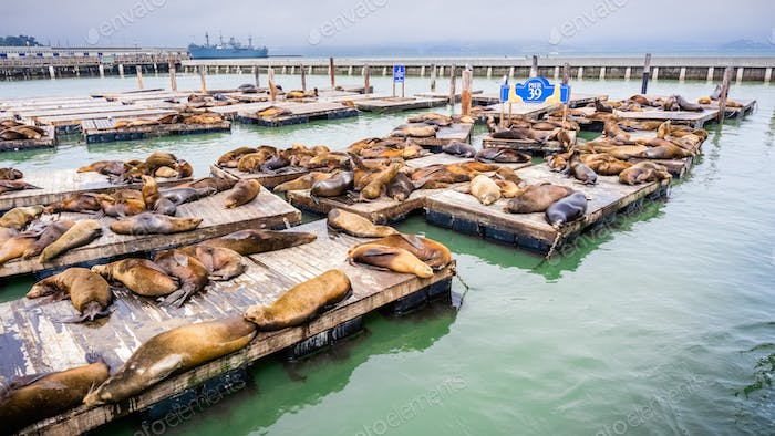 Sea lions resting on wooden platforms at Pier 39, one of the landmarks of San Francisco