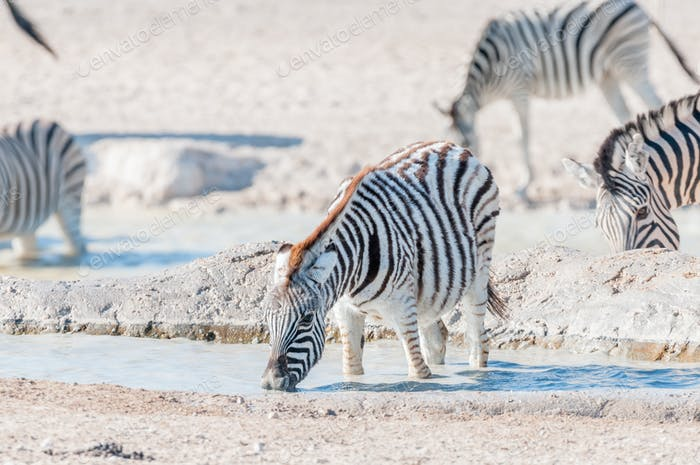 Burchells Zebra foal drinking water in a waterhole