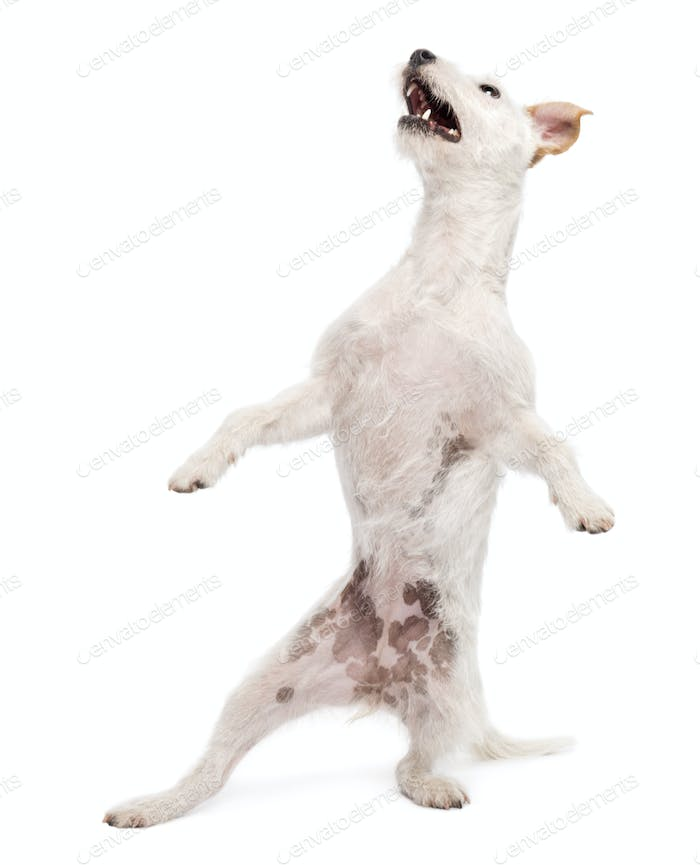 Parson Russell terrier standing on hind legs with style against white background