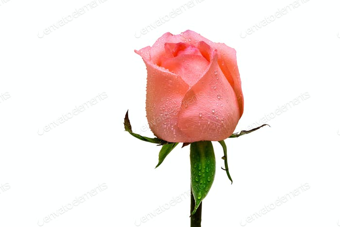 rose flower isolated with dew