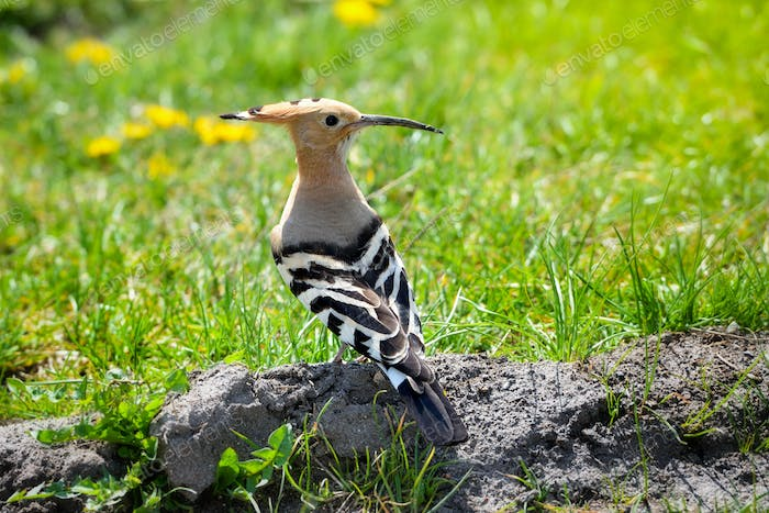 Hoopoe (Upupa epops) Eurasian Hoopoe on the green grass