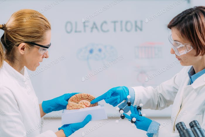 Olfaction and the Brain. Female Scientists Studying a Brain Model.