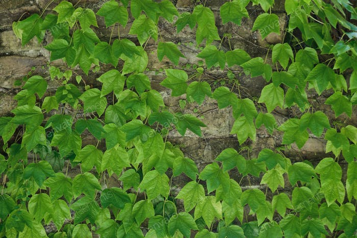 ivy evergreen foliage on old brick house wall
