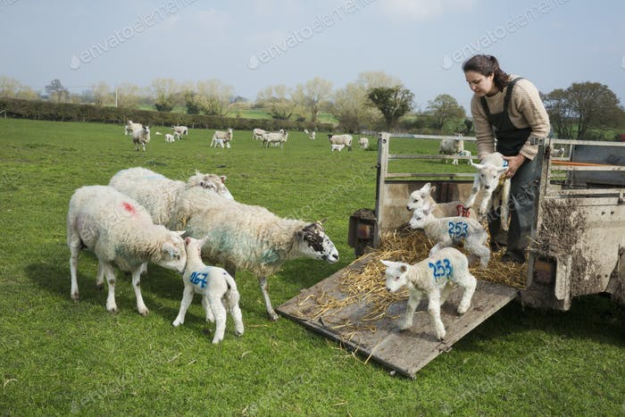 Woman on a pasture, unloading sheep and newborn lambs with numbers painted on their sides from a