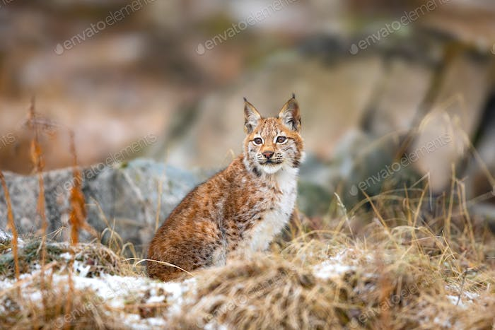Eurasian lynx sitting in the woods at early winter