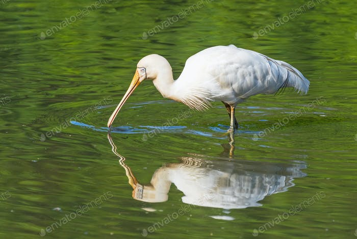Yellow-Billed Spoonbill Feeding