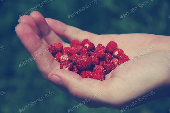 Hand holding wild strawberry in the garden. Toned image