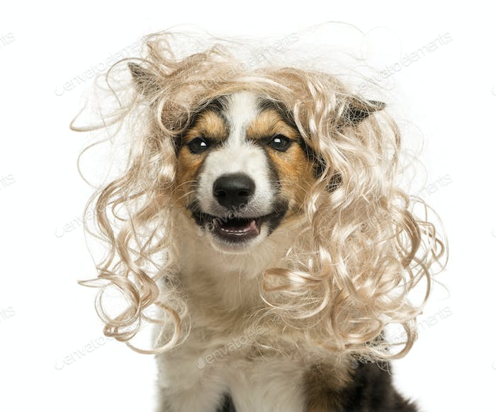 Close-up of a Border collie with a glamorous blond wig, isolated on white