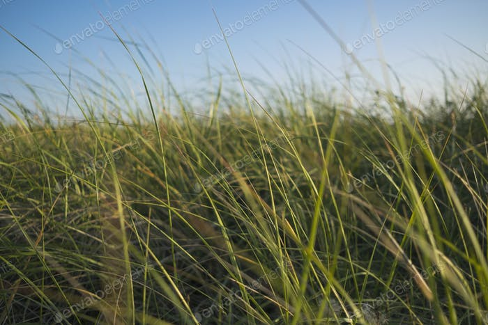 Windswept grasses, surface level view.