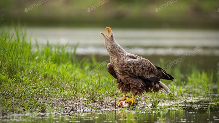 Majestic white-tailed eagle adult bird calling with beak open on a riverbank
