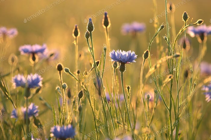 Cornflower in the field at sunset