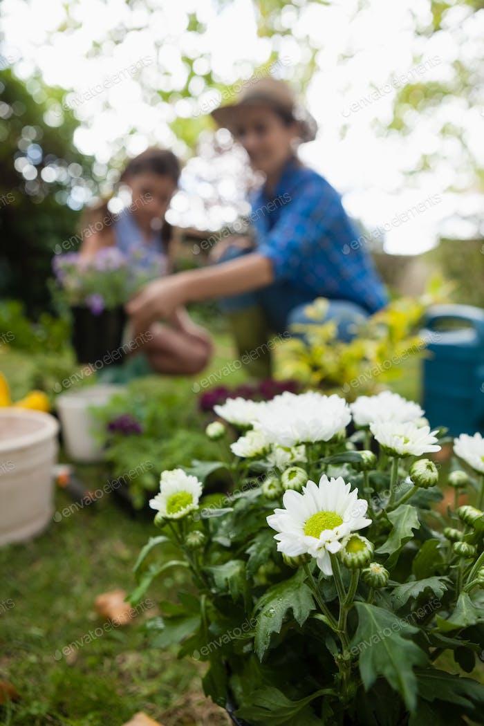 Weiße blühende Pflanzen mit Mutter und Tochter im Hintergrund