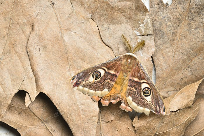 Male of Saturnia pavonia, the small emperor moth, camouflage on dead leaves and wing eye spots.