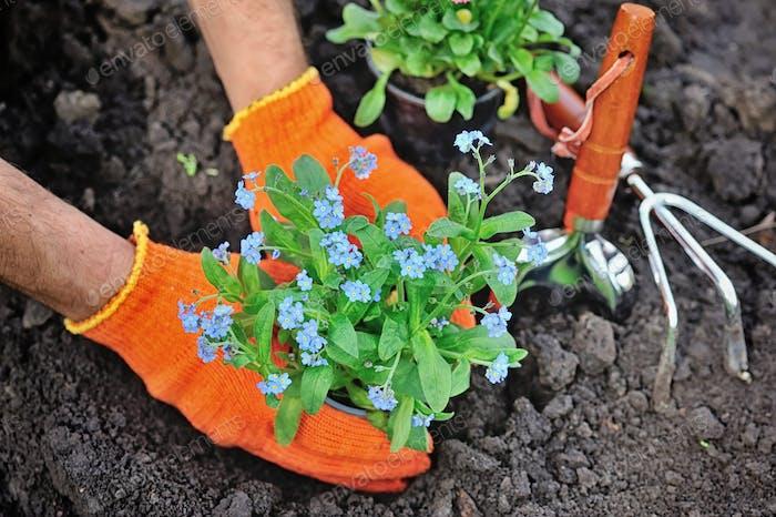 Gärtner Hände Pflanzen Blumen Vergissmeinnicht im Garten