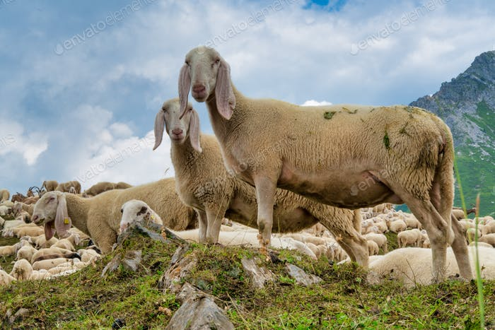 Newly sheared sheep grazing