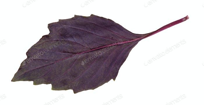 Blatt des frischen dunkelvioletten Basilikum Kraut isoliert