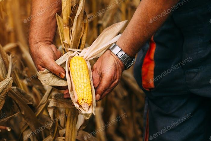 Landwirt Agronom hält Mais Ohr auf dem Kolben