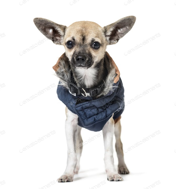 Chihuahua puppy, Dog, pet, studio photography, cut out