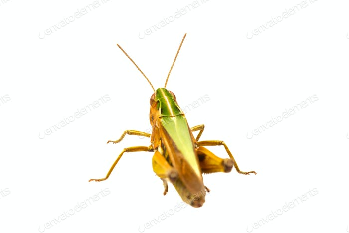 Grasshopper on a white background