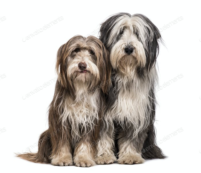 Bearded Collie dogs sitting together against white background