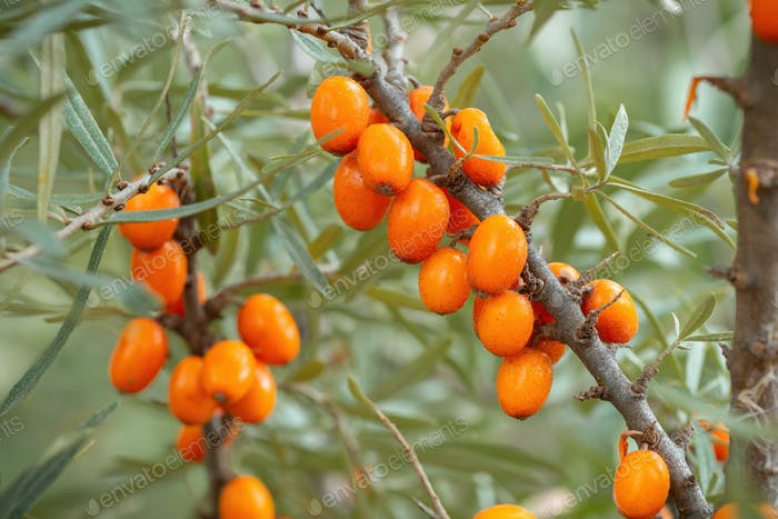 Fresh sea buckthorn growing on branch in fall nature