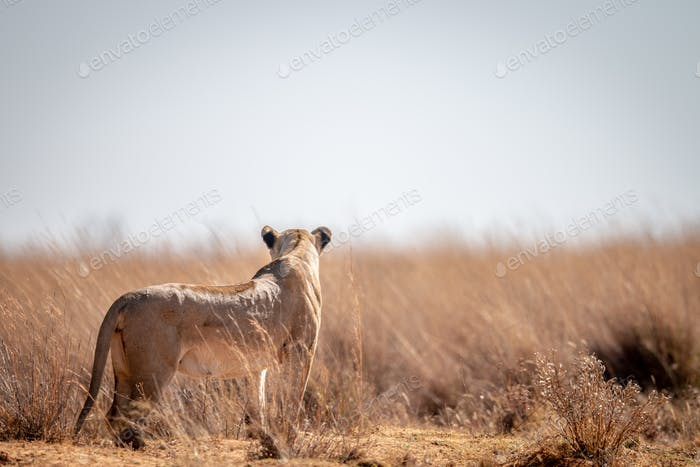 Lioness scanning the surroundings.