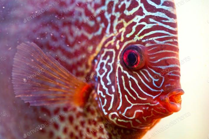 Discus Symphysodon, pez de agua dulce nativo del río Amazonas, en acuario