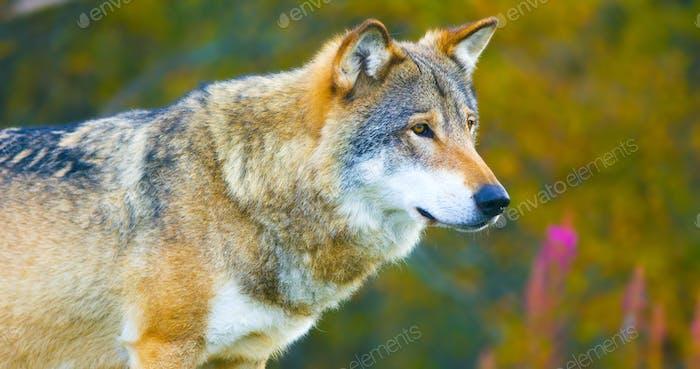 Großer männlicher grauer Wolf im Herbst farbigen Wald