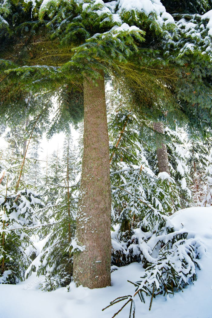 Beautiful fluffy green spruce stands among forest