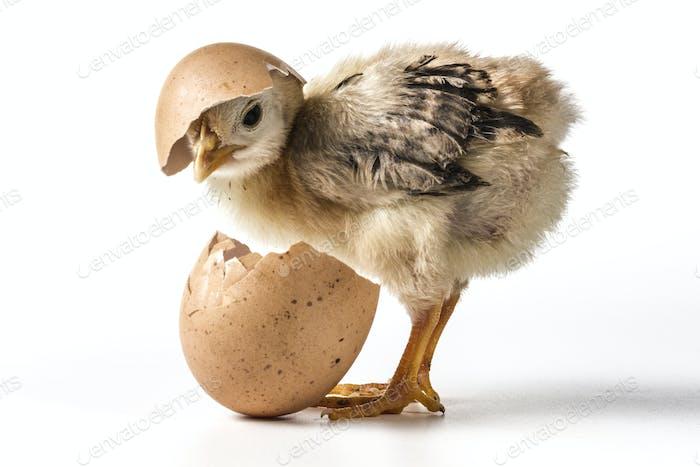 Egg On Chicken
