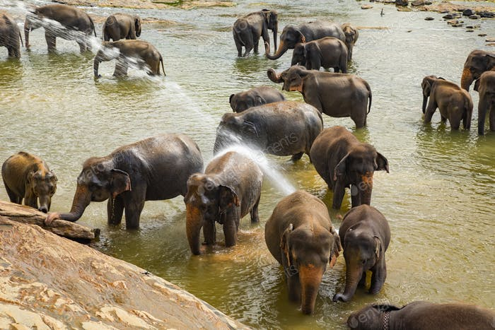 Elephants bathing in the river. Pinnawala Elephant Orphanage. Sri Lanka