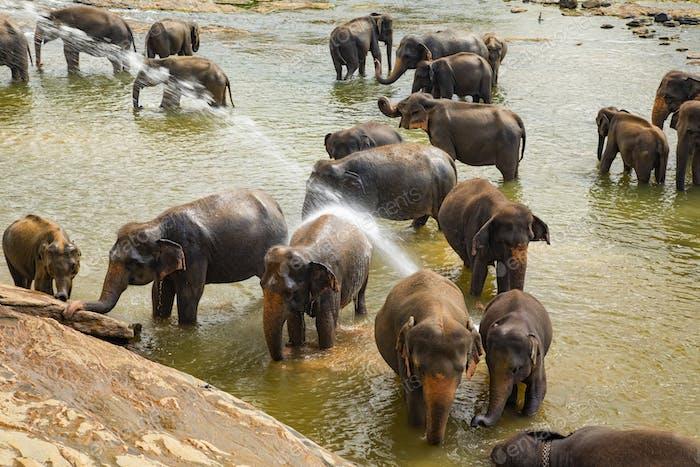 Elephants bathing in the river. Pinnawala Elephant Orphanage. Sri Lanka