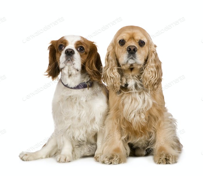 Cocker Spaniel (4 years) and a Cavalier King Charles Spaniel (4 years)