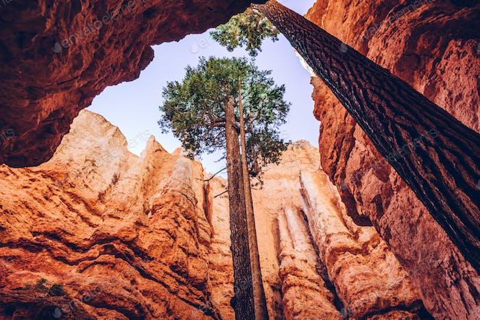 Bryce Canyon, Utah, Vereinigte Staaten von Amerika. Einzelne Bäume