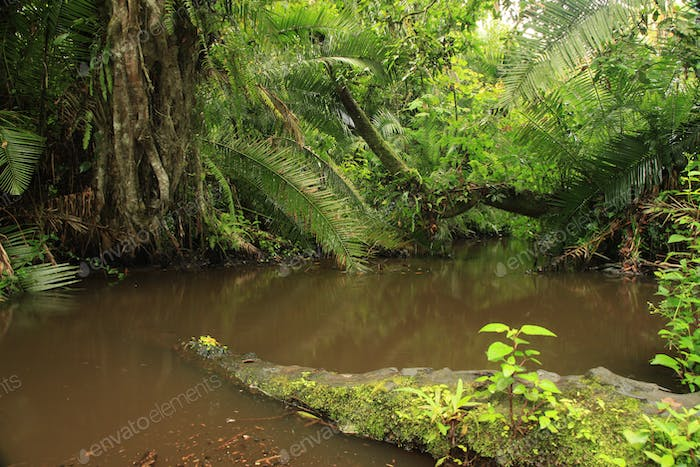 Jungle - Bigodi Swamps - Uganda