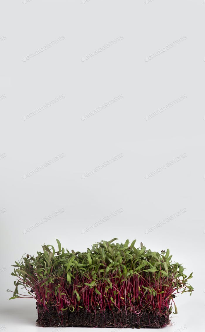 Bright sprouted seeds on white background, copy space