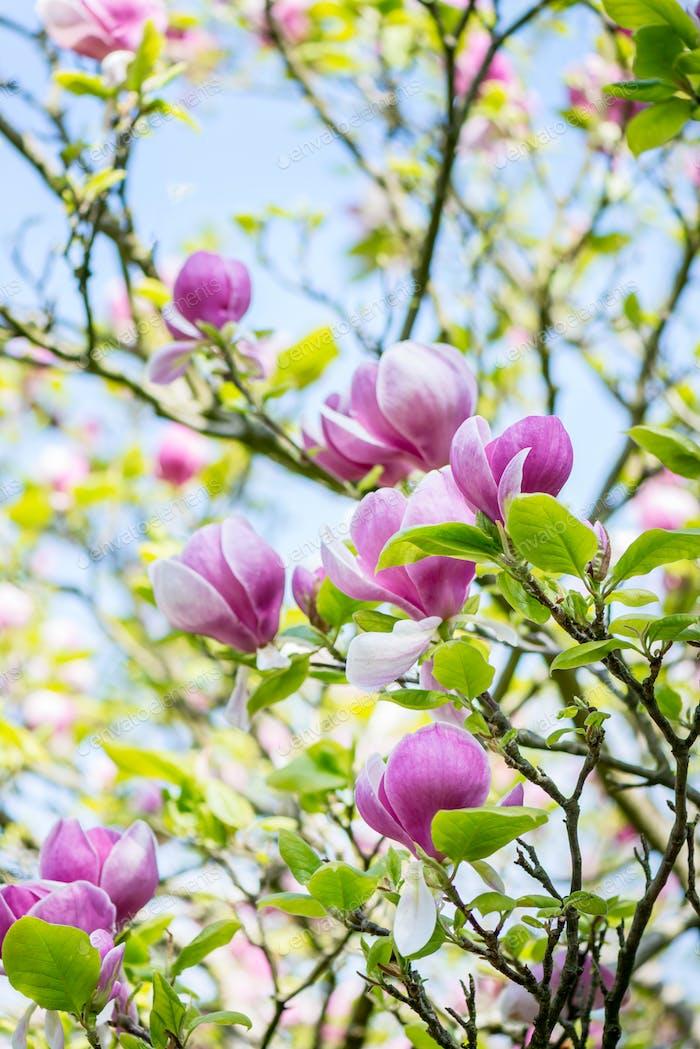 Beautifull Light Pink, Purple Magnolia Tree