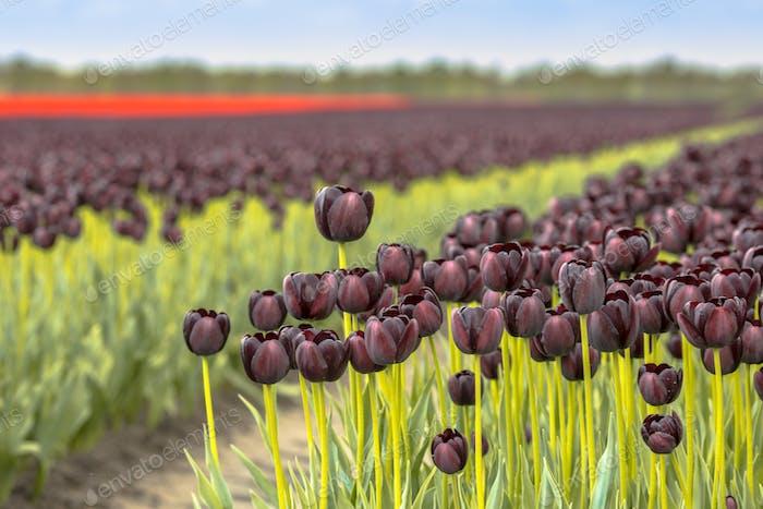 Black Tulip field scene