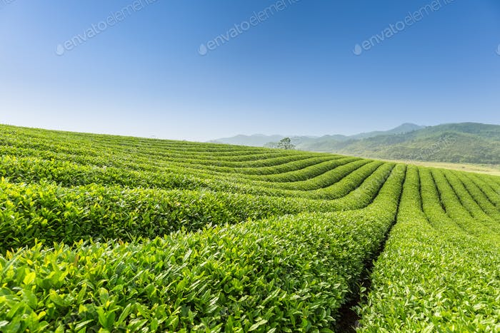 beautiful tea plantation scenery